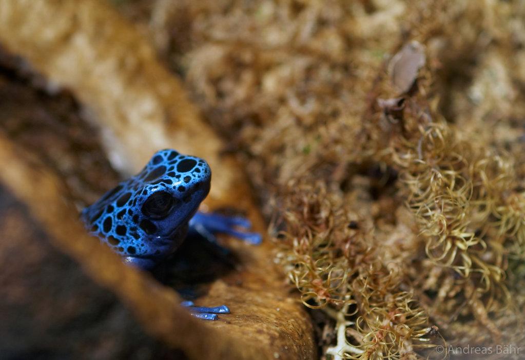 Blauer Baulsteiger (Pfeilgiftfrosch)